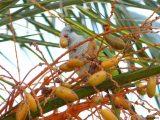 In Palma fressen Papageien reife Datteln