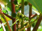 Rizinus mit Blüten