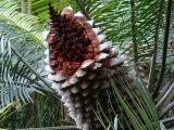 Riesenfrucht des ostaustralischen Palmfarns