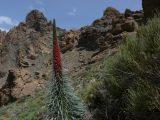 Rot blühender Natternkopf. Rechts von dessen Spitze ist der Gipfel des Teide zu erkennen.